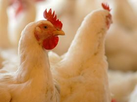 Norway Joins EU Research on Chicken Mites