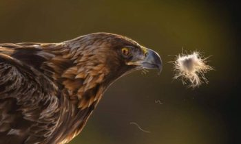 Future management of golden eagle in Norway