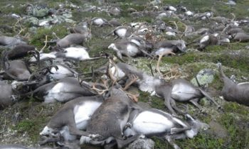 Lightning kills more than 300 reindeer in southern Norway