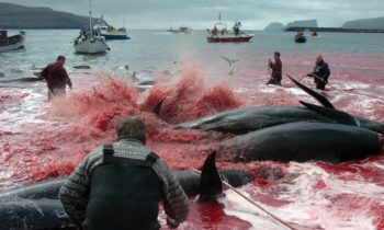 Whale Protection Advocates Condemn Start of Norwegian Whale Hunt
