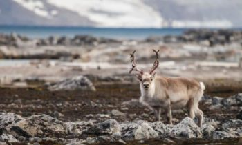 Norway plans mass reindeer cull to halt spread of wasting disease